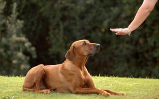 Как обучить щенка командам в домашних условиях?