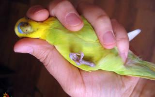 У попугая болит лапка что делать