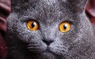 Британский кот описание породы и характера