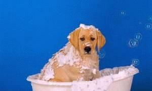 Когда можно купать щенка лабрадора первый раз?