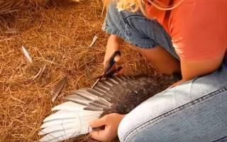 Как подрезать крылья уткам?