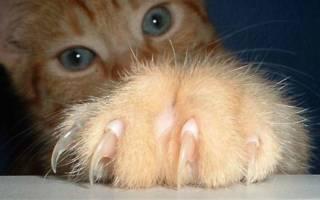 Как часто стричь когти кошке?