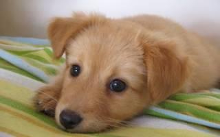 Как различить щенка мальчика от девочки?