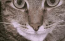 Шишка на подбородке у кошки