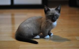 Карликовые кошки породы фото цена – коты карлики