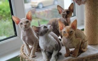 Какие породы кошек не аллергенные?