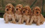 Как ухаживать за маленьким щенком породы спаниель?