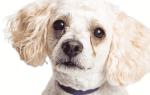 У собаки закисают глаза что делать
