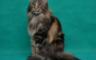Что за порода кошек мэйкун?