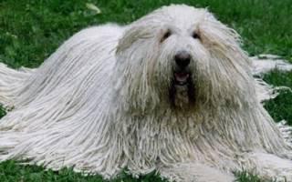 Собака с языком на бок фото
