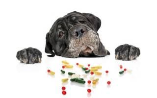 Симптомы отравления крысиным ядом у собаки