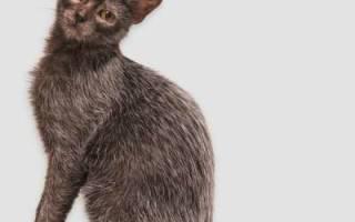Порода кошки ликой описание и происхождение породы