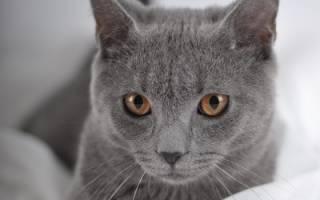 Шартрез кошка описание породы и характера