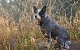 Какая порода собак лучше поддается дрессировке?