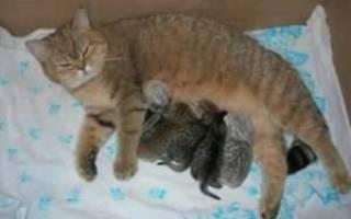 Что сделать чтобы у кошки перегорело молоко, лактация у кошек