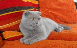 Британский вислоухий кот описание породы