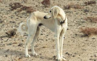 Порода собак тазы описание