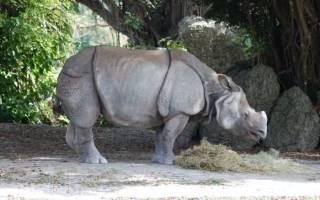 Как называют детеныша носорога?