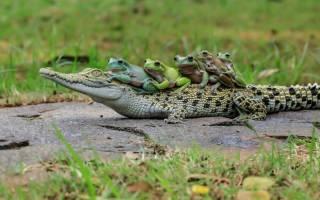 Крокодил земноводное или нет