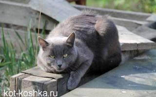 Какая порода кошек самая спокойная и ласковая, нежные кошки