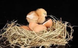 Сколько курица высиживает цыплят?