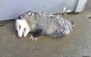 Какое животное притворяется мертвым при опасности