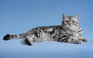 Шотландская короткошёрстная кошка описание породы