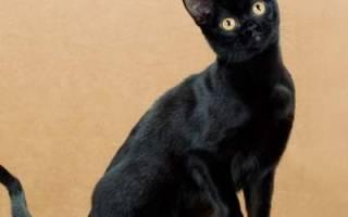 Бомбейская кошка описание породы и характера