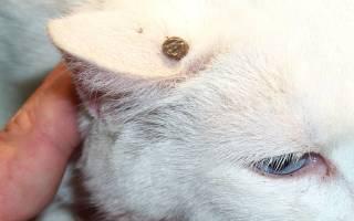 Как удалить клеща у кошки?