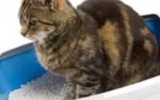 Недержание мочи у кошек лечение – у кота энурез