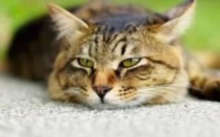Отравление у котов симптомы и лечение – кошка отравилась чем лечить