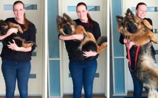 До какого месяца растут собаки?