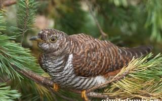 Кукушка какая птица зимующая или перелетная