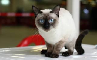 Чем отличаются сиамские кошки от тайских?