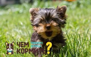 Чем кормить щенка йорка в 3 месяца?