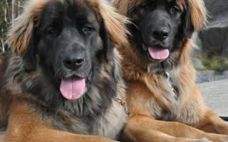 Порода собак леонбергер фото