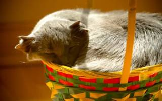 Кошка с четырьмя ушами порода – четырехухий кот