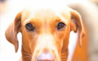 Колит у собак с некрозом слизистой