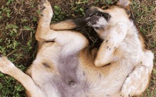 Почему собака выгрызает себе шерсть?