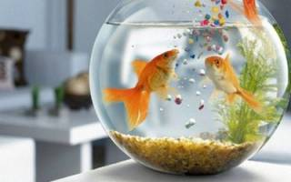 Сколько можно не кормить аквариумных рыбок, сколько рыбы могут прожить без еды?