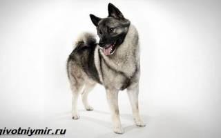 Редкие породы собак корейская белая описание