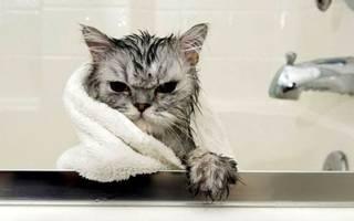 Можно ли мыть кошек и как часто – сколько стоит помыть кота?