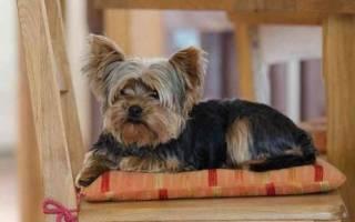 Сколько лет живут собаки породы йоркширский терьер?