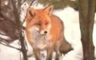 Как лисы заботятся о своем потомстве, детеныш лисицы