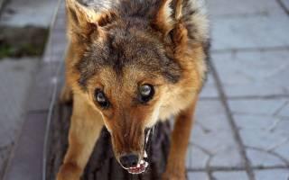 Признаки бешенства у человека от укуса собаки
