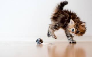 Когда у котят меняется шерсть на взрослую, линька у кошек