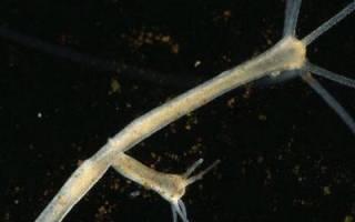 Заполните таблицу особенности размножения пресноводной гидры