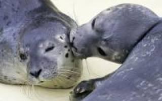 Чем отличается тюлень от морского котика?