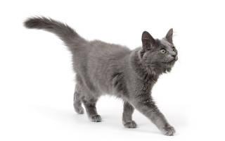 Кошки породы нибелунг фото и описание