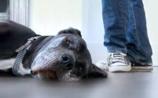Собака резко стала вялой Ростов, жирный пудель